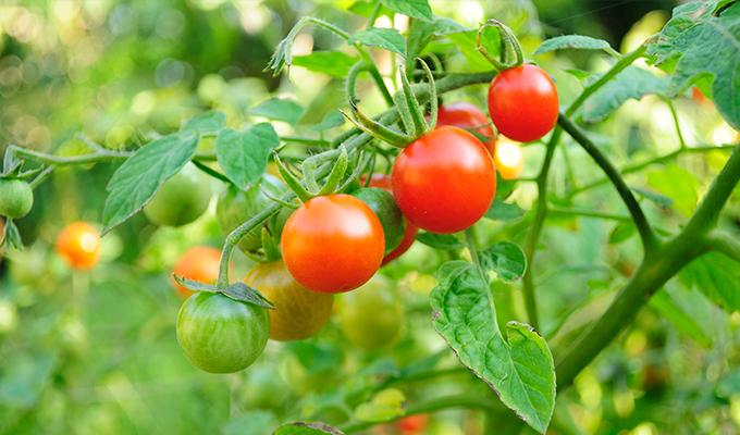 Tomatera cherry