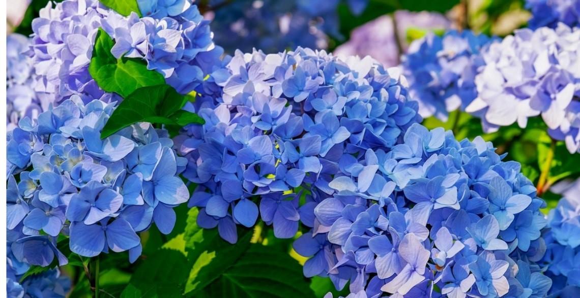 plantas de invierno hortensias