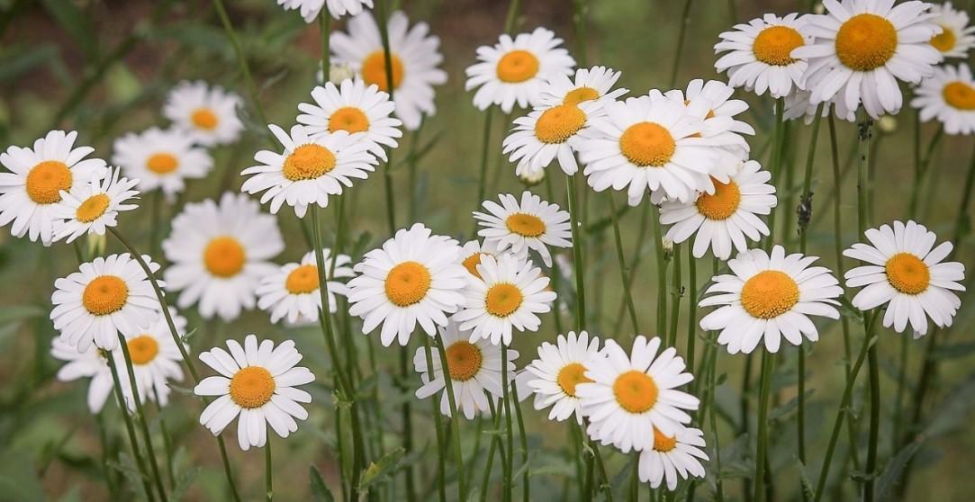 plantas de invierno margaritas