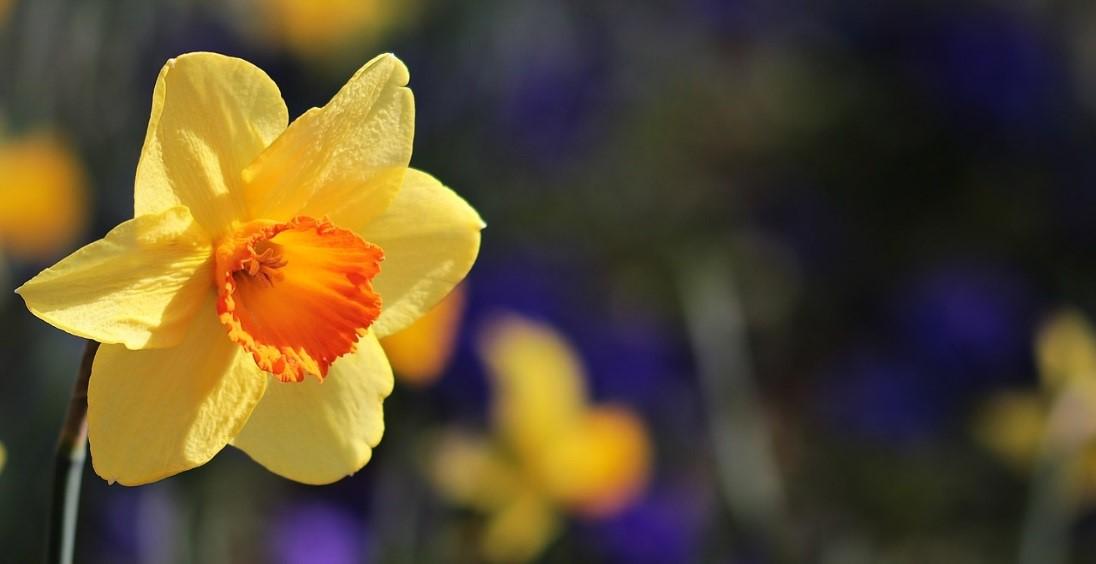 plantas de invierno narcisos