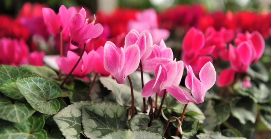 plantas de invierno violetas